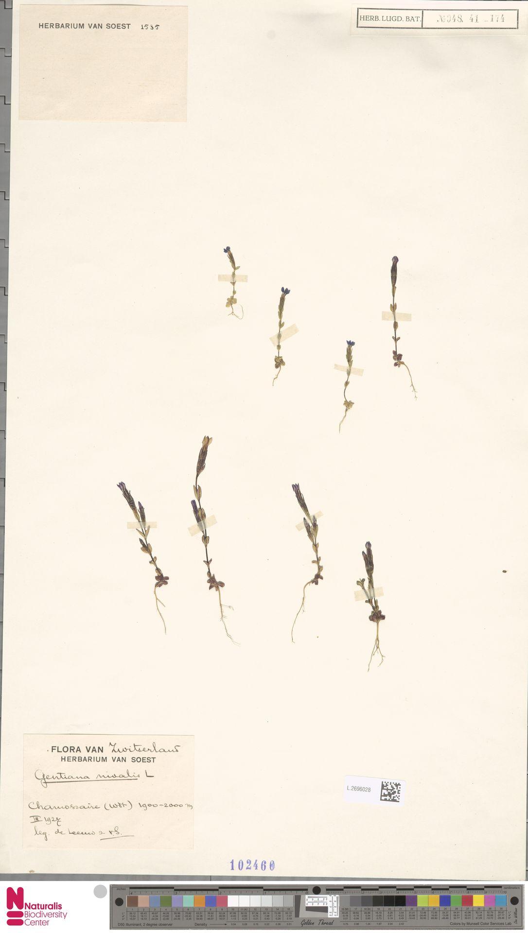 L.2696028 | Gentiana nivalis L.