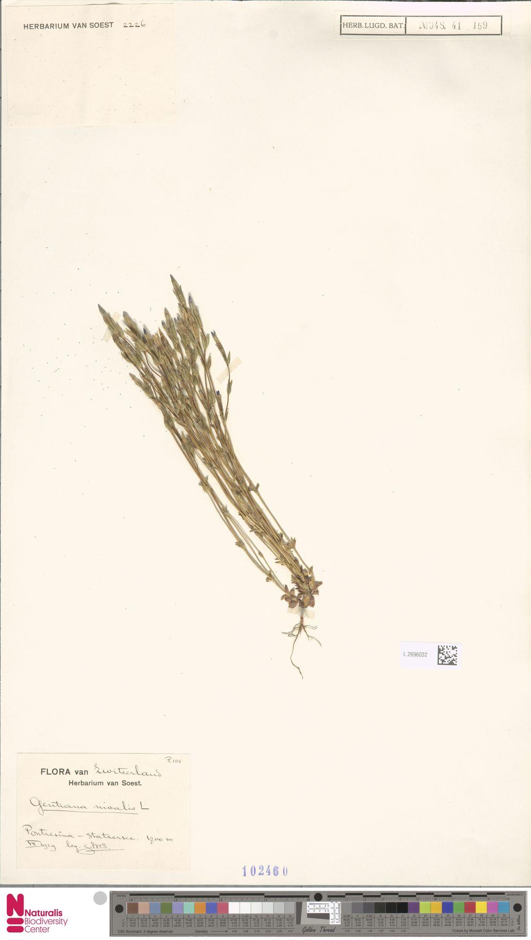 L.2696032 | Gentiana nivalis L.