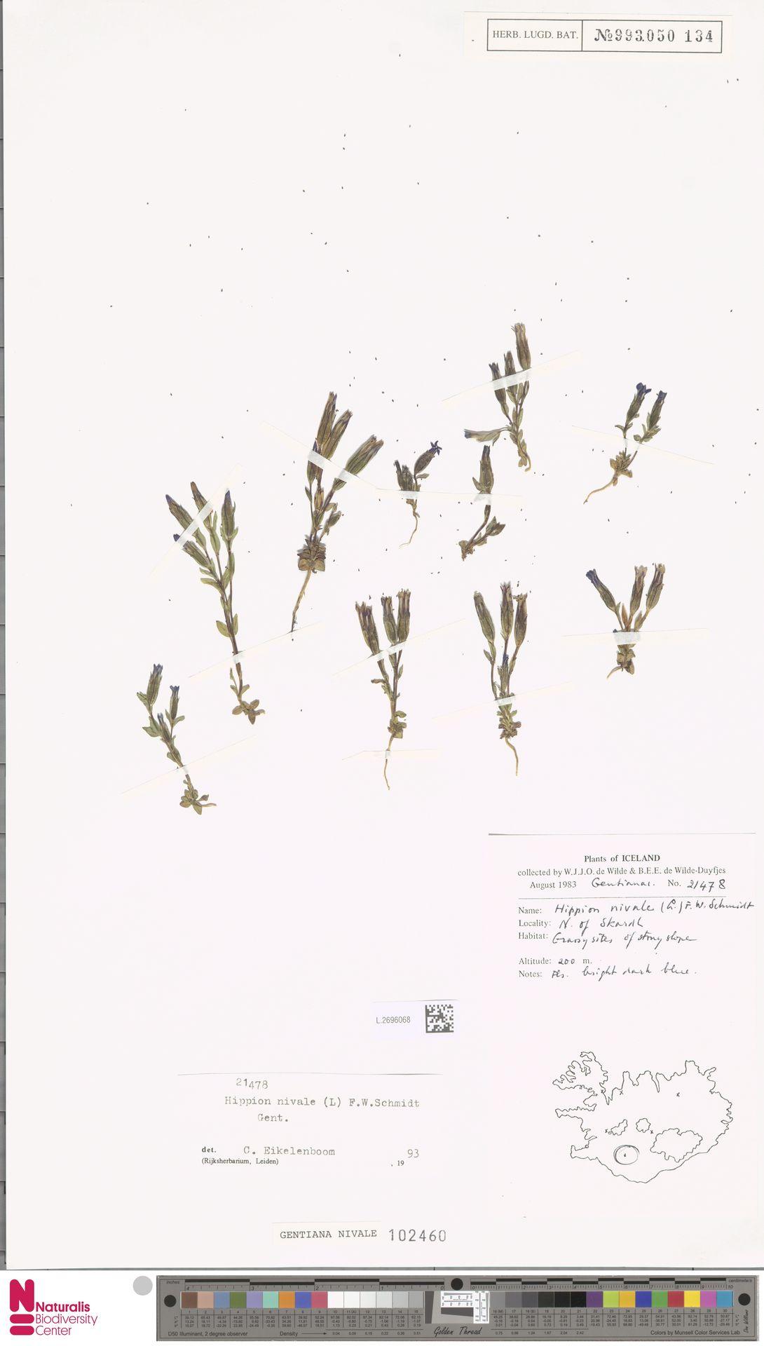 L.2696068 | Gentiana nivalis L.