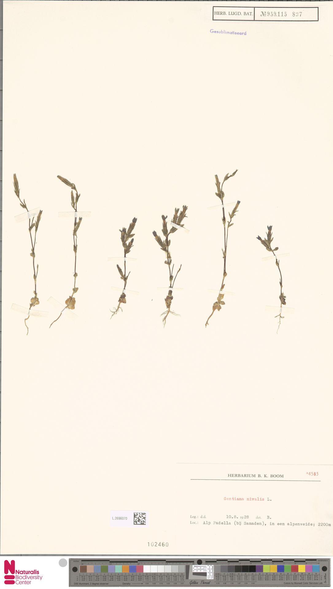 L.2696070 | Gentiana nivalis L.