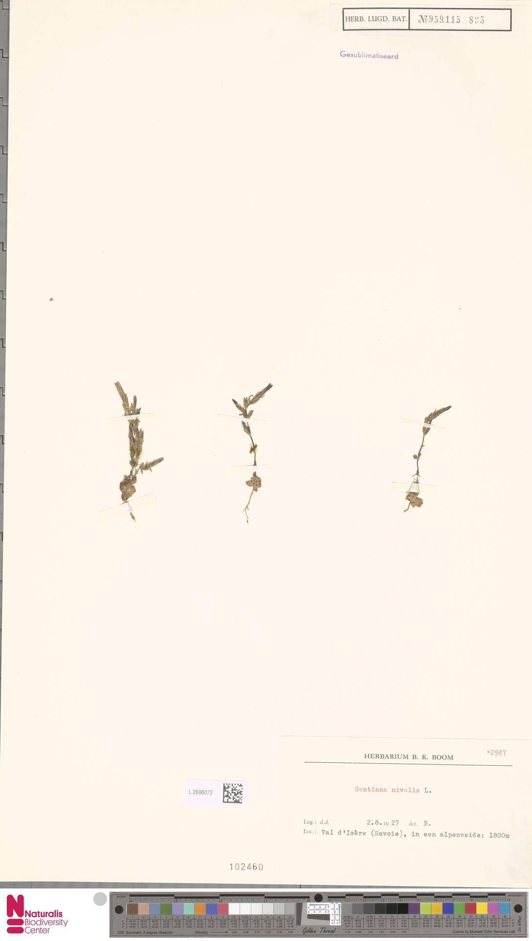 L.2696072 | Gentiana nivalis L.