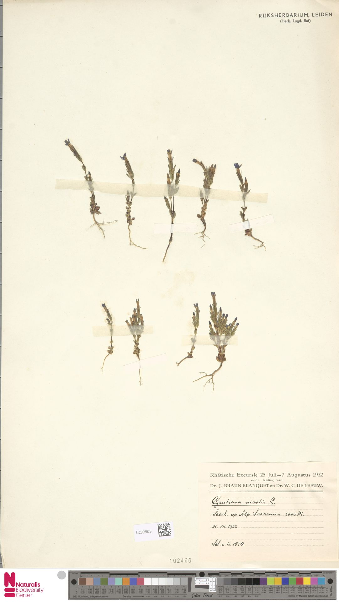 L.2696078 | Gentiana nivalis L.
