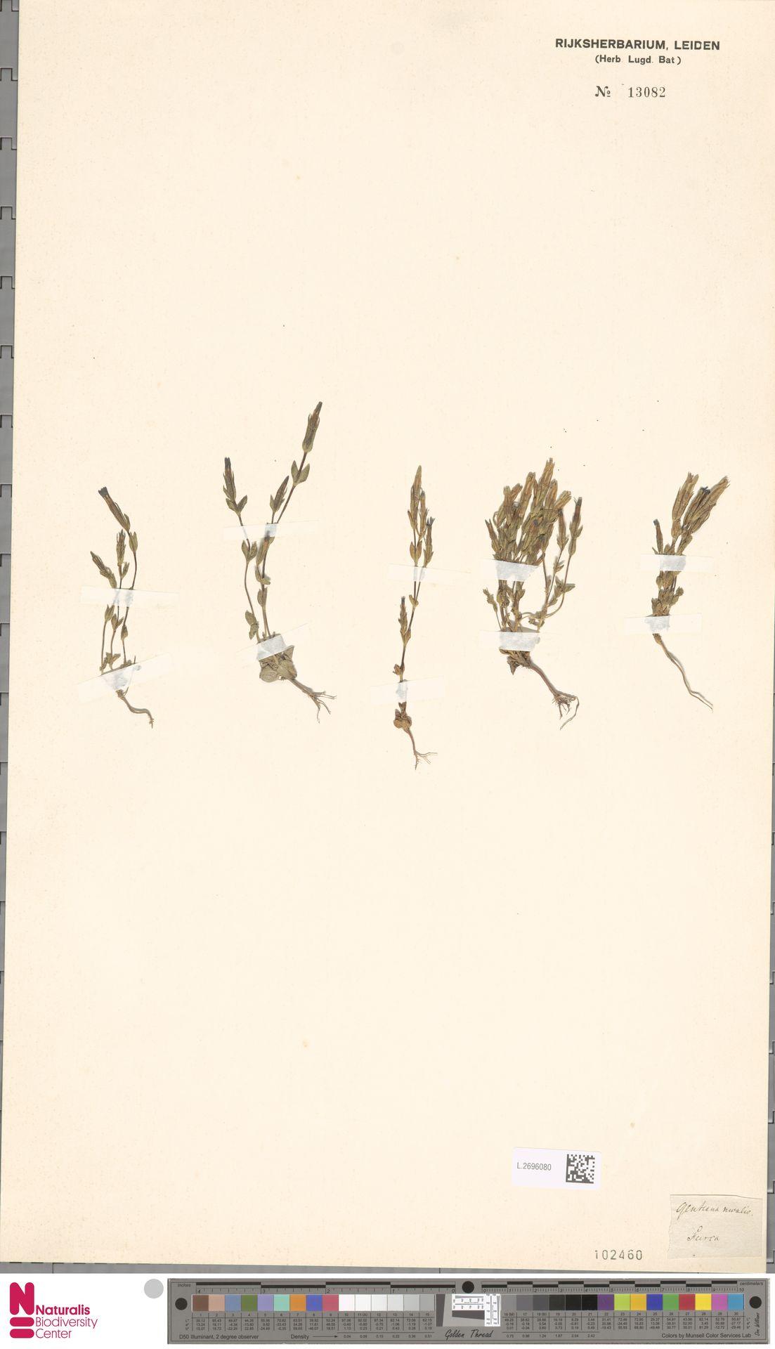 L.2696080 | Gentiana nivalis L.