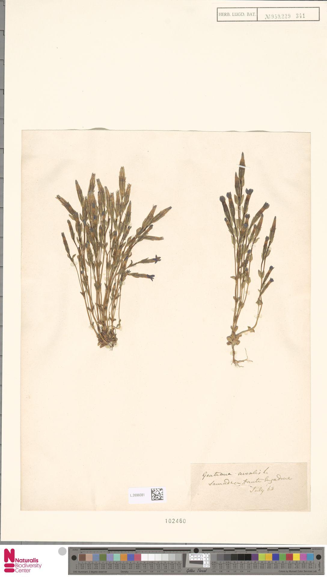 L.2696081 | Gentiana nivalis L.
