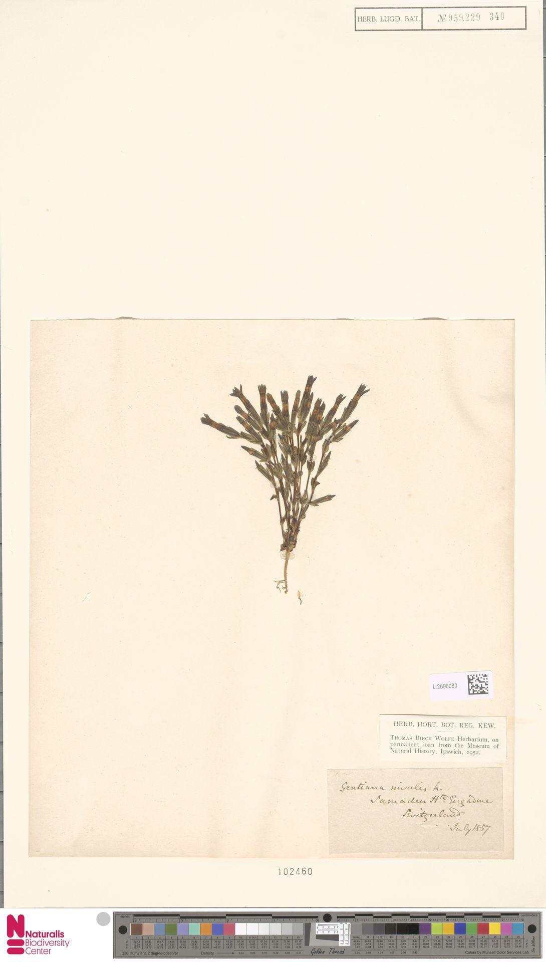 L.2696083 | Gentiana nivalis L.