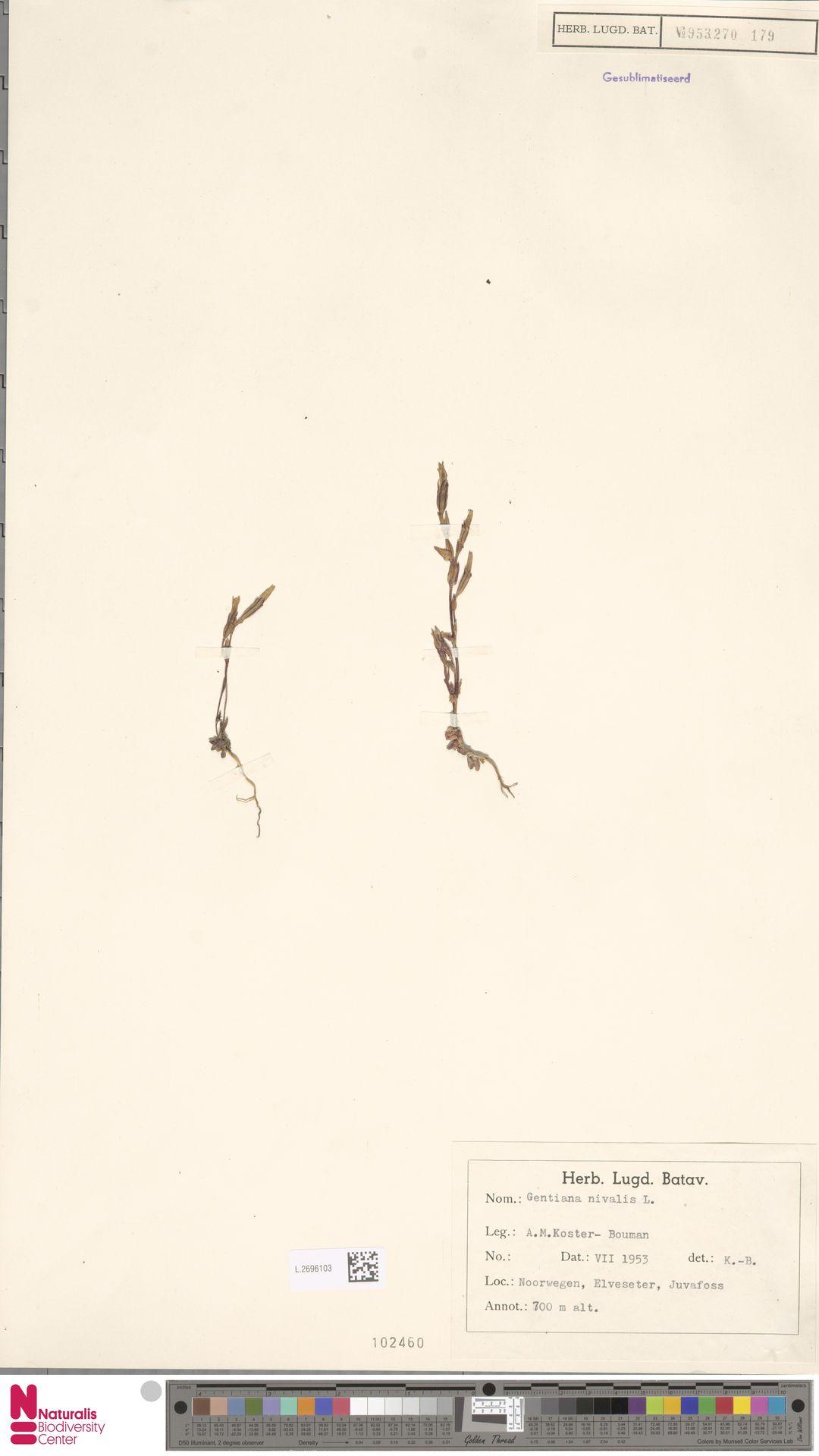 L.2696103 | Gentiana nivalis L.