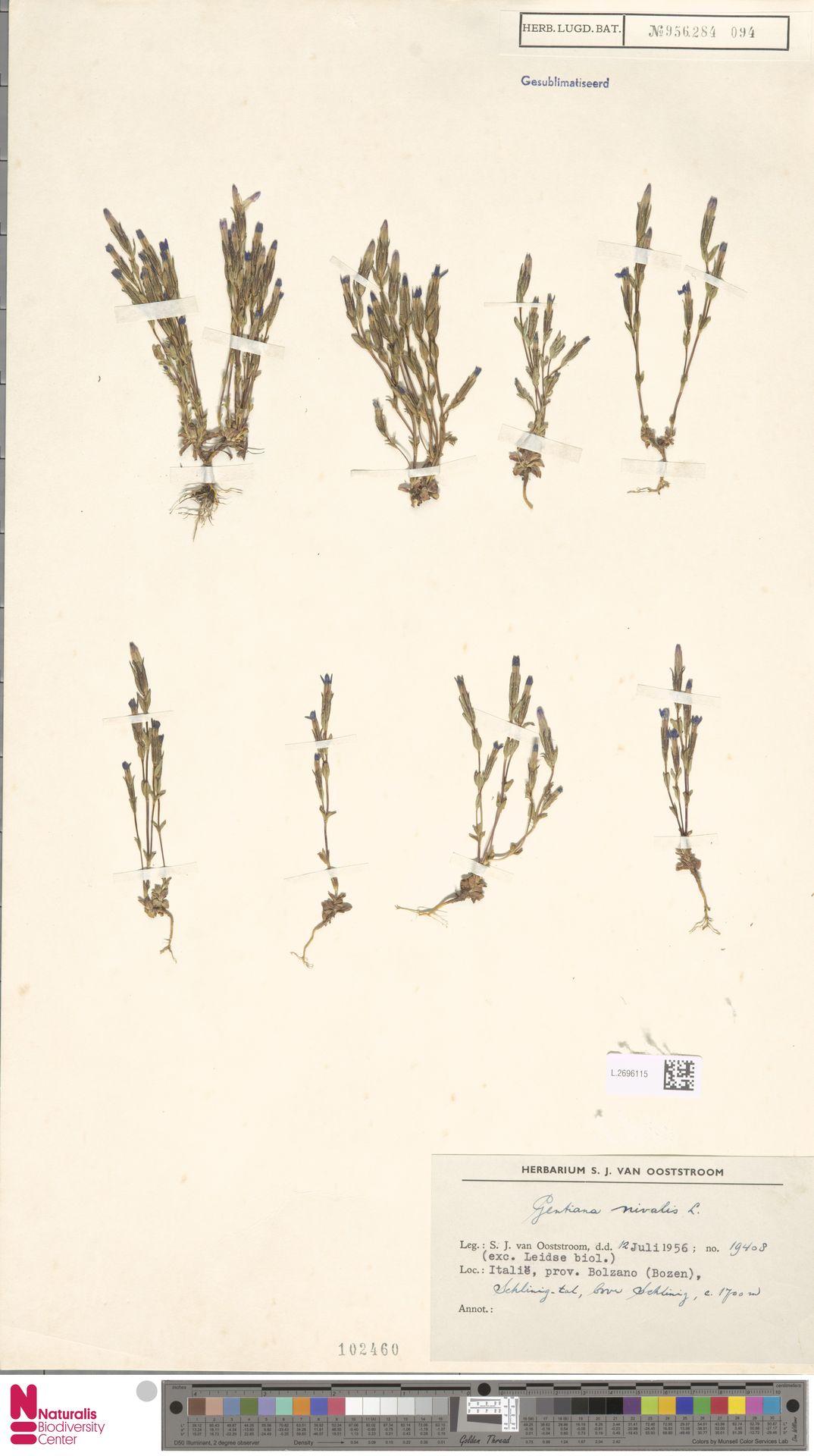 L.2696115 | Gentiana nivalis L.