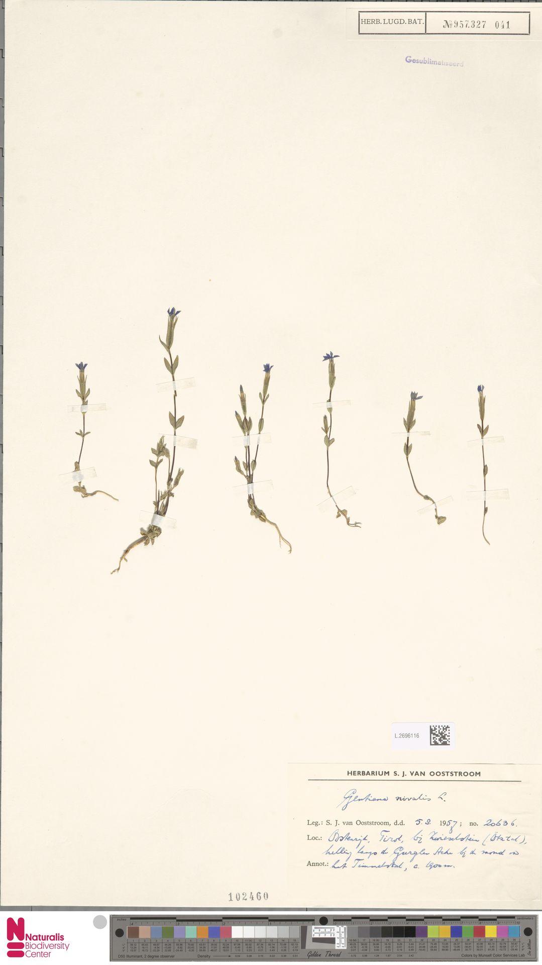 L.2696116 | Gentiana nivalis L.