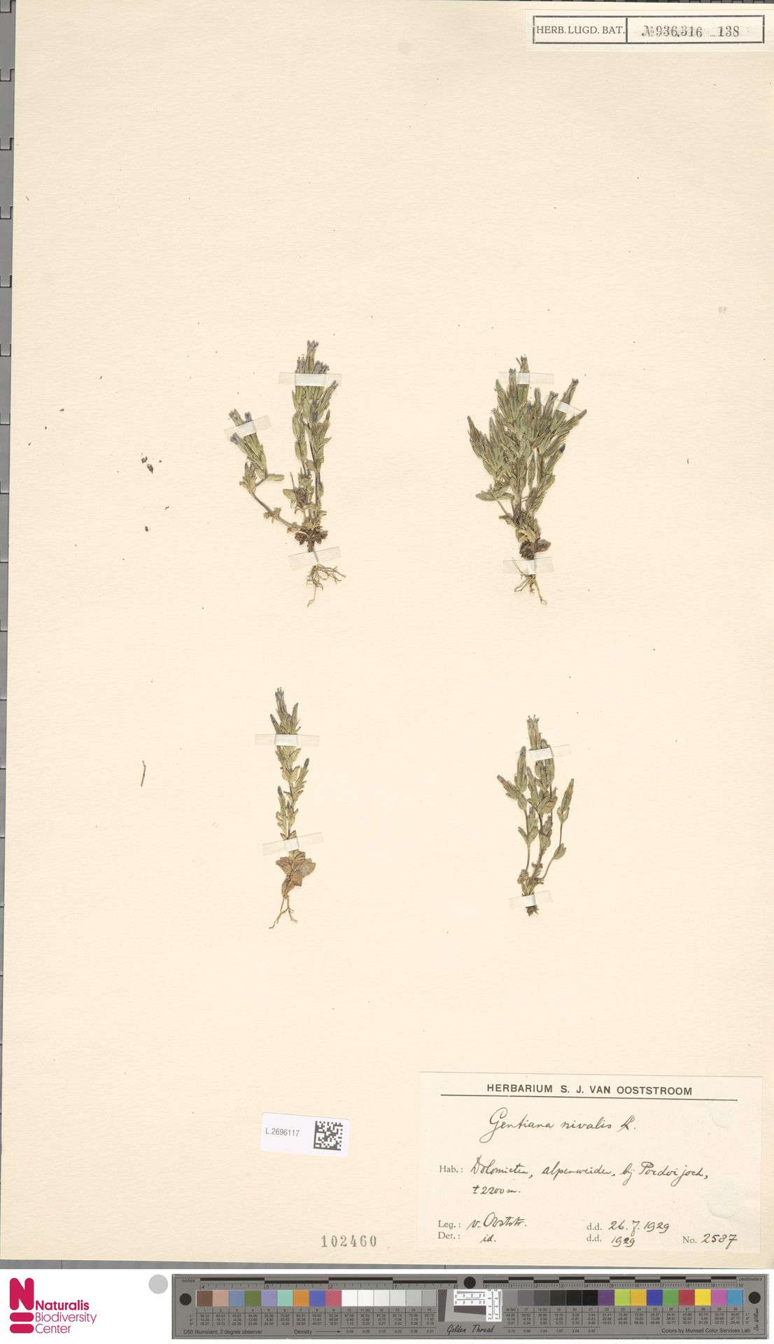 L.2696117   Gentiana nivalis L.