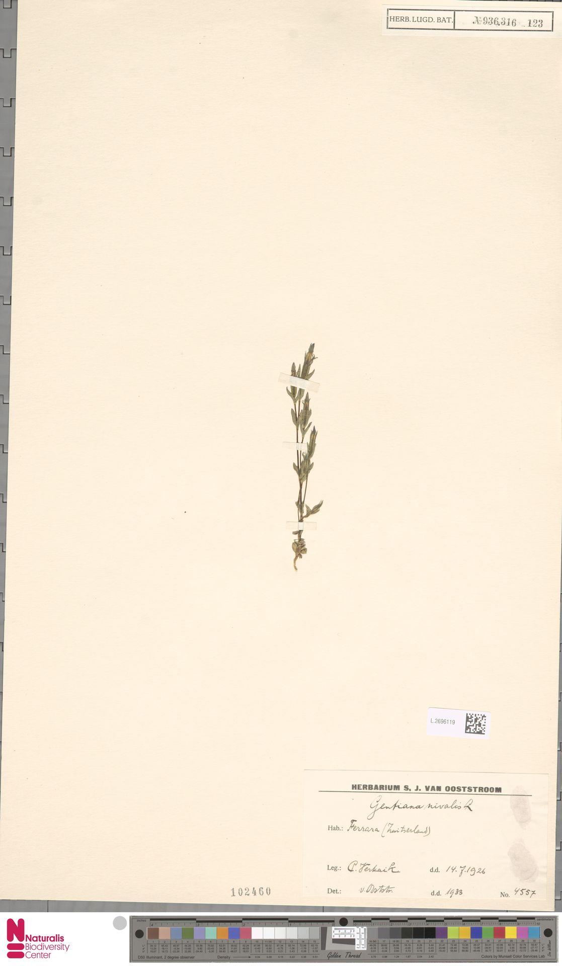 L.2696119 | Gentiana nivalis L.