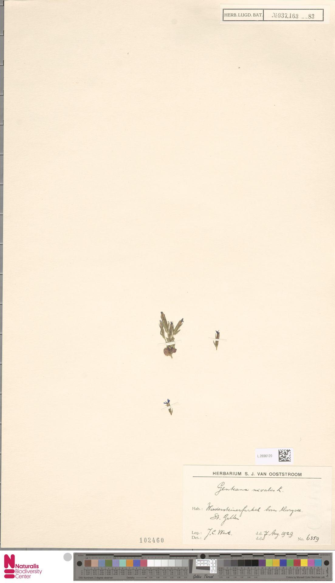 L.2696120 | Gentiana nivalis L.
