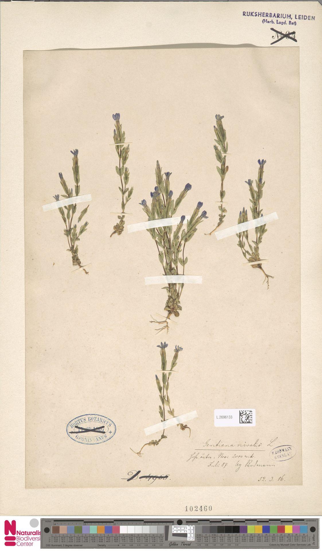 L.2696133 | Gentiana nivalis L.