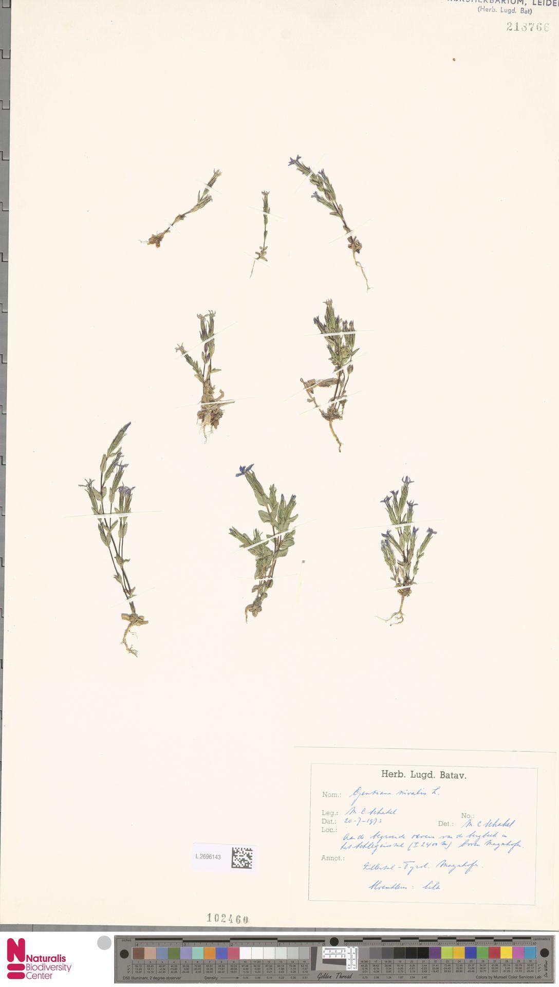 L.2696143 | Gentiana nivalis L.