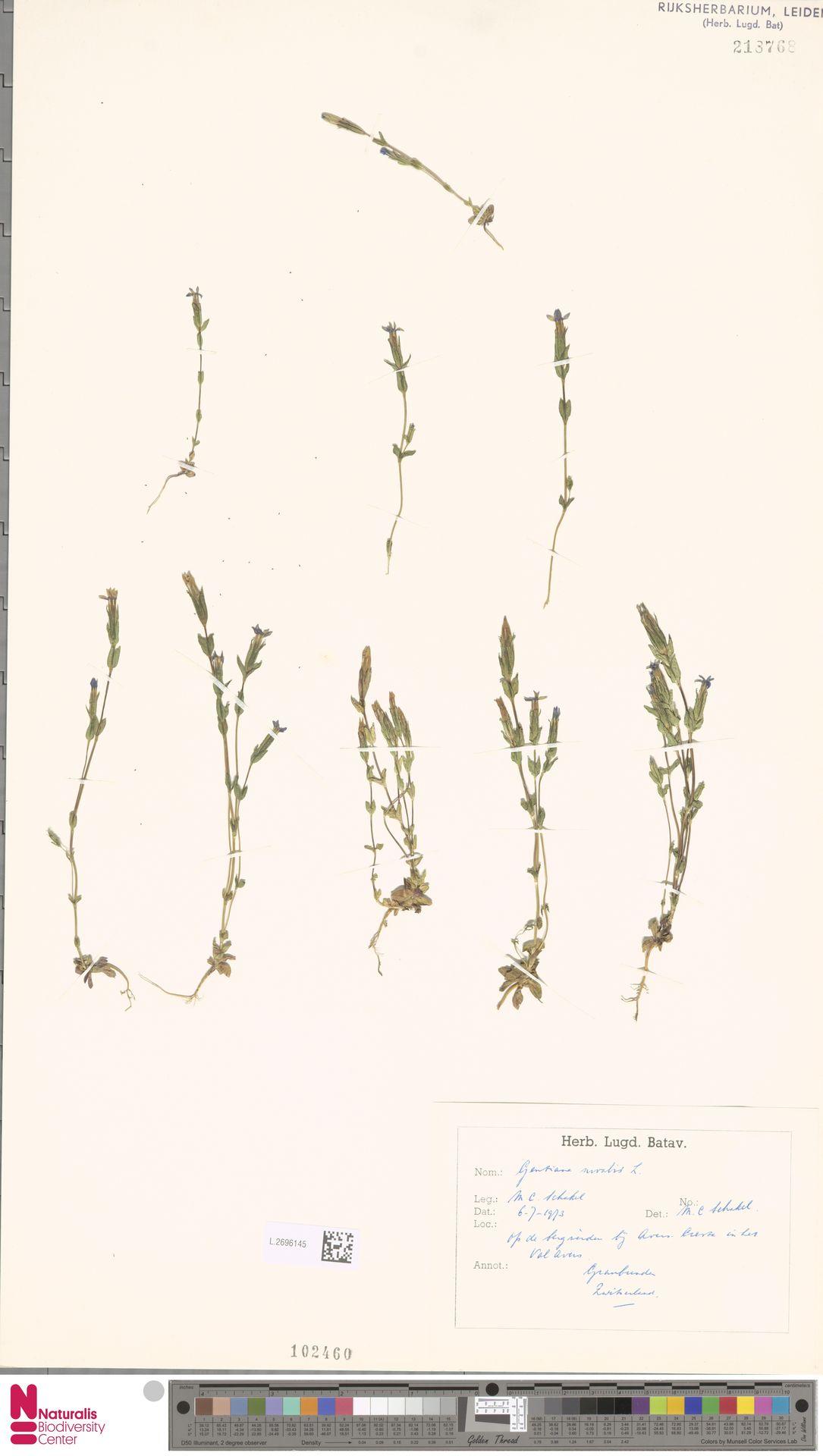 L.2696145 | Gentiana nivalis L.