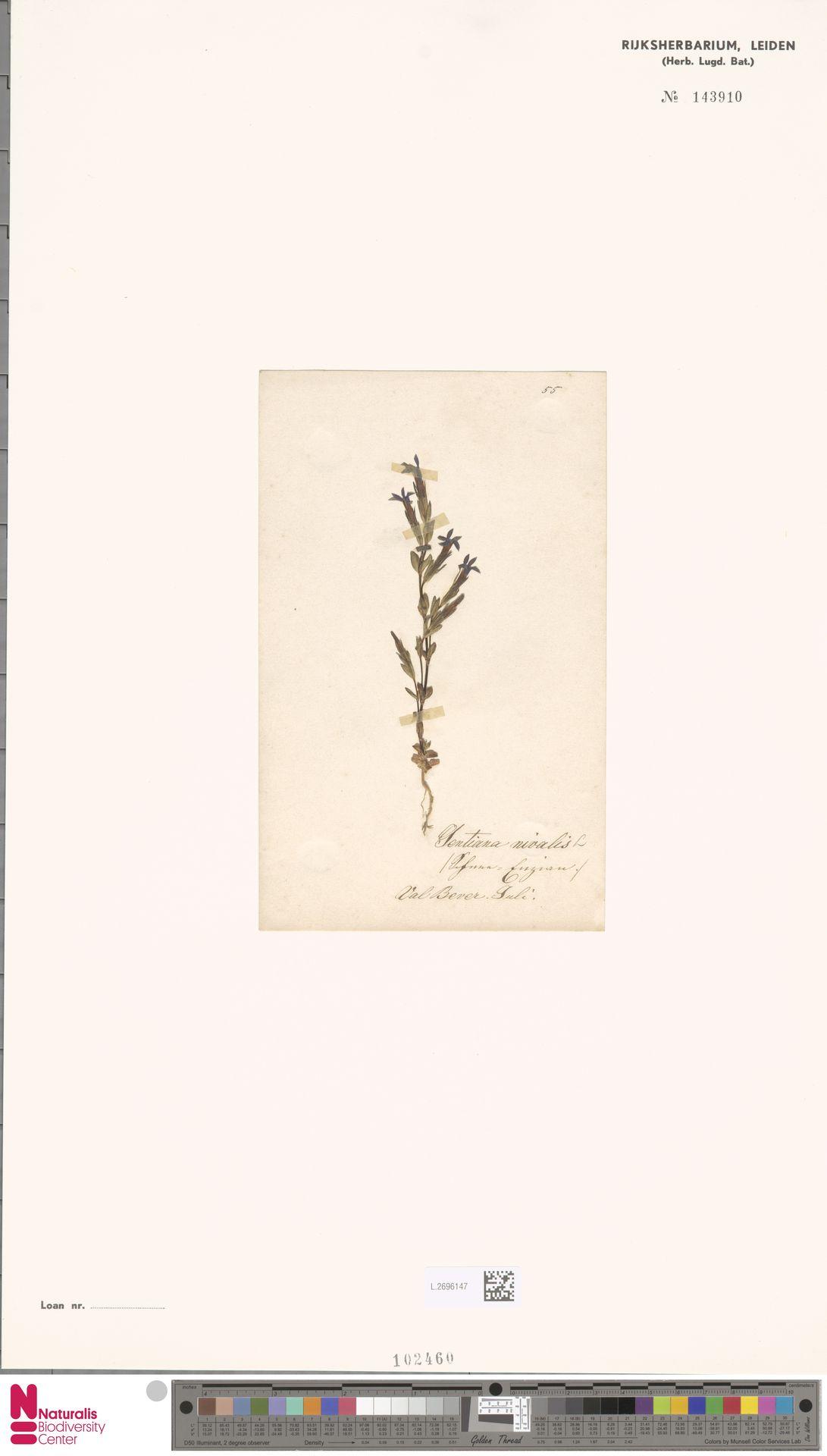 L.2696147 | Gentiana nivalis L.