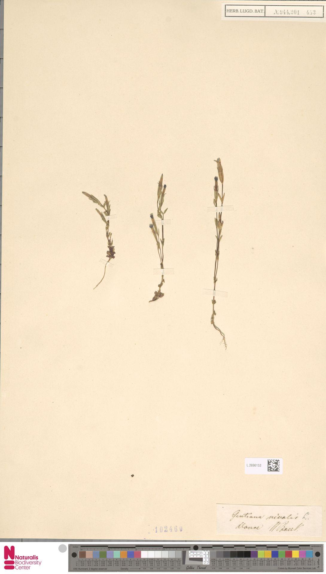 L.2696153 | Gentiana nivalis L.