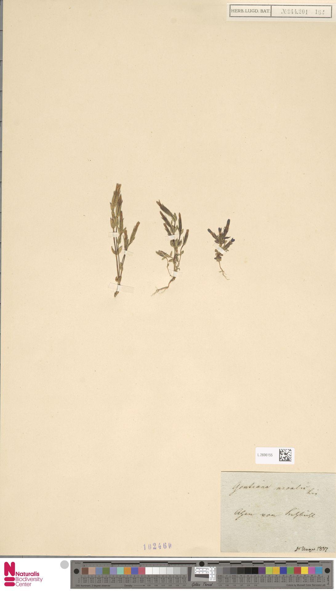 L.2696155 | Gentiana nivalis L.