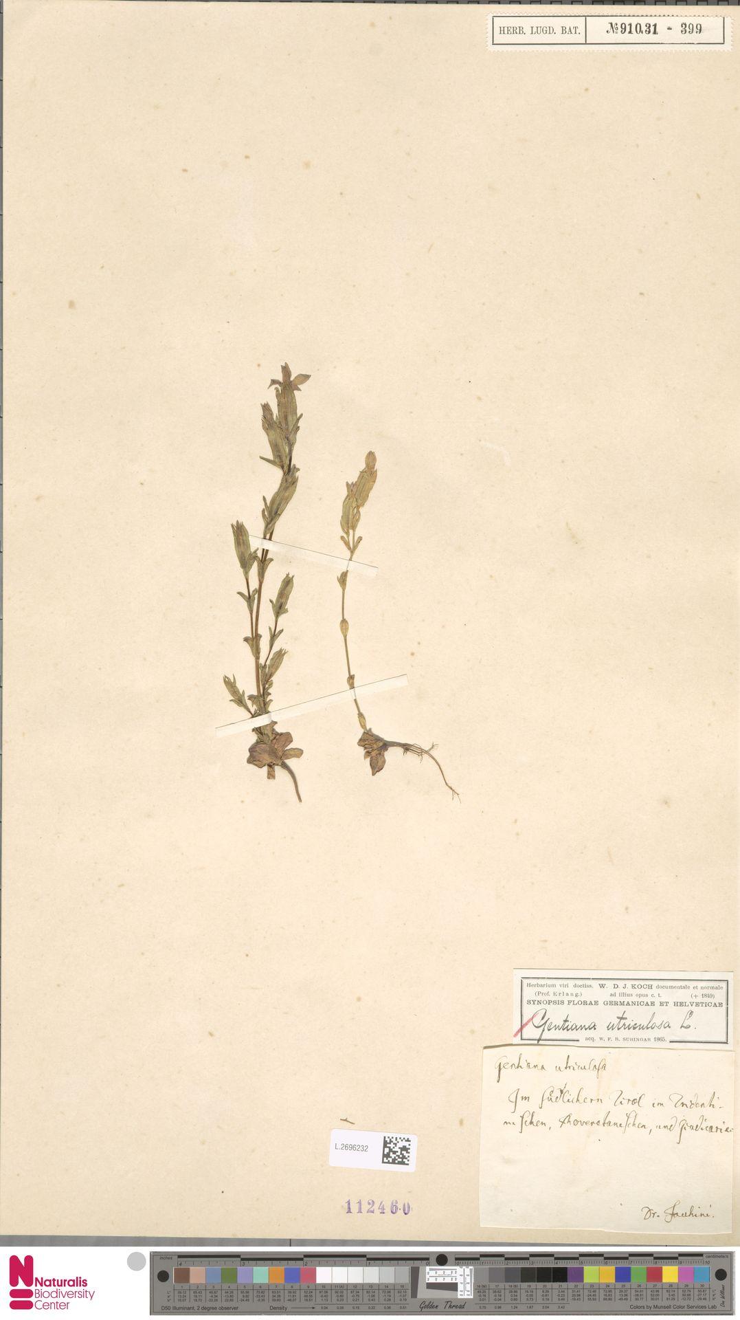 L.2696232 | Gentiana utriculosa L.