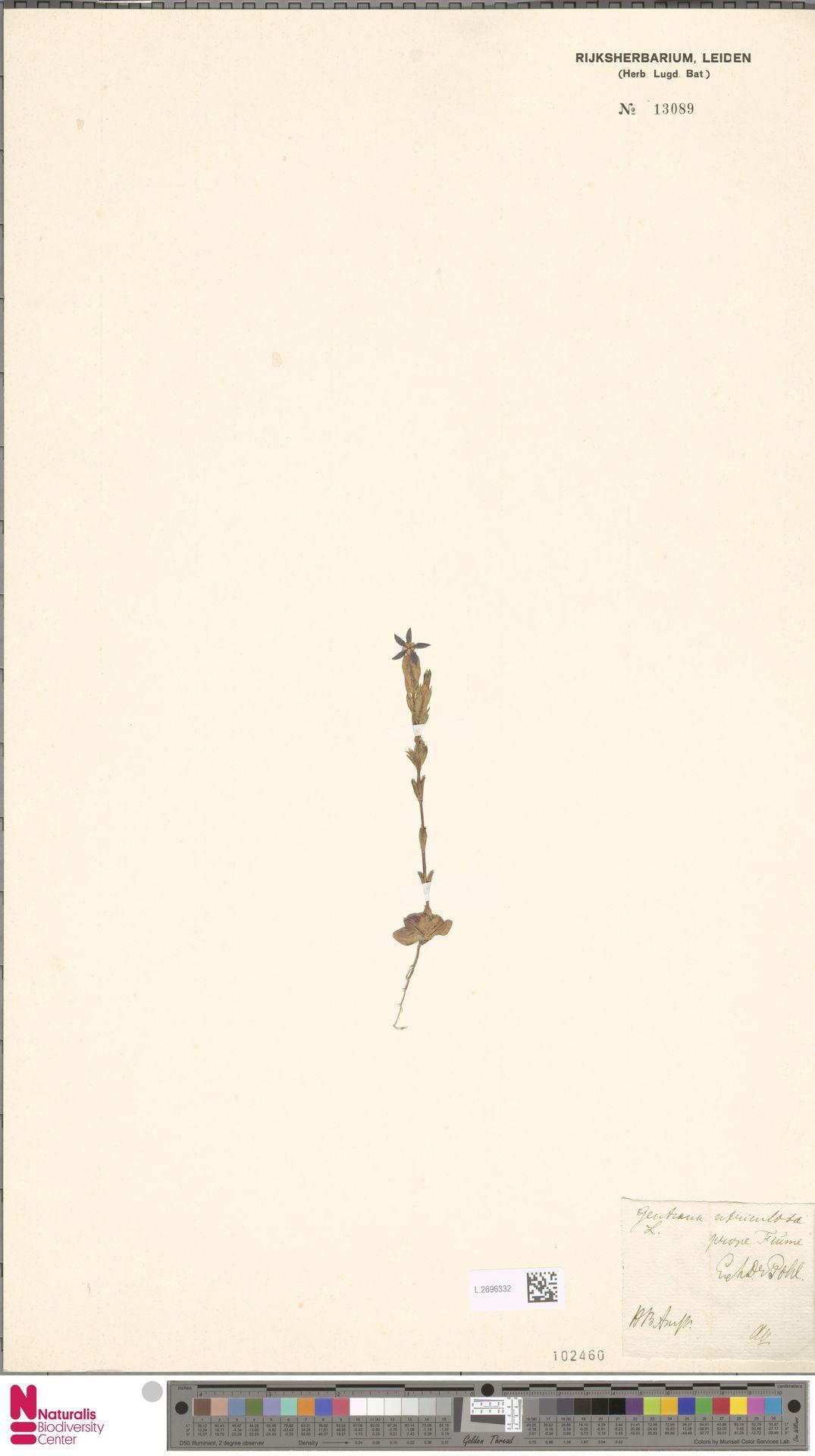 L.2696332 | Gentiana utriculosa L.