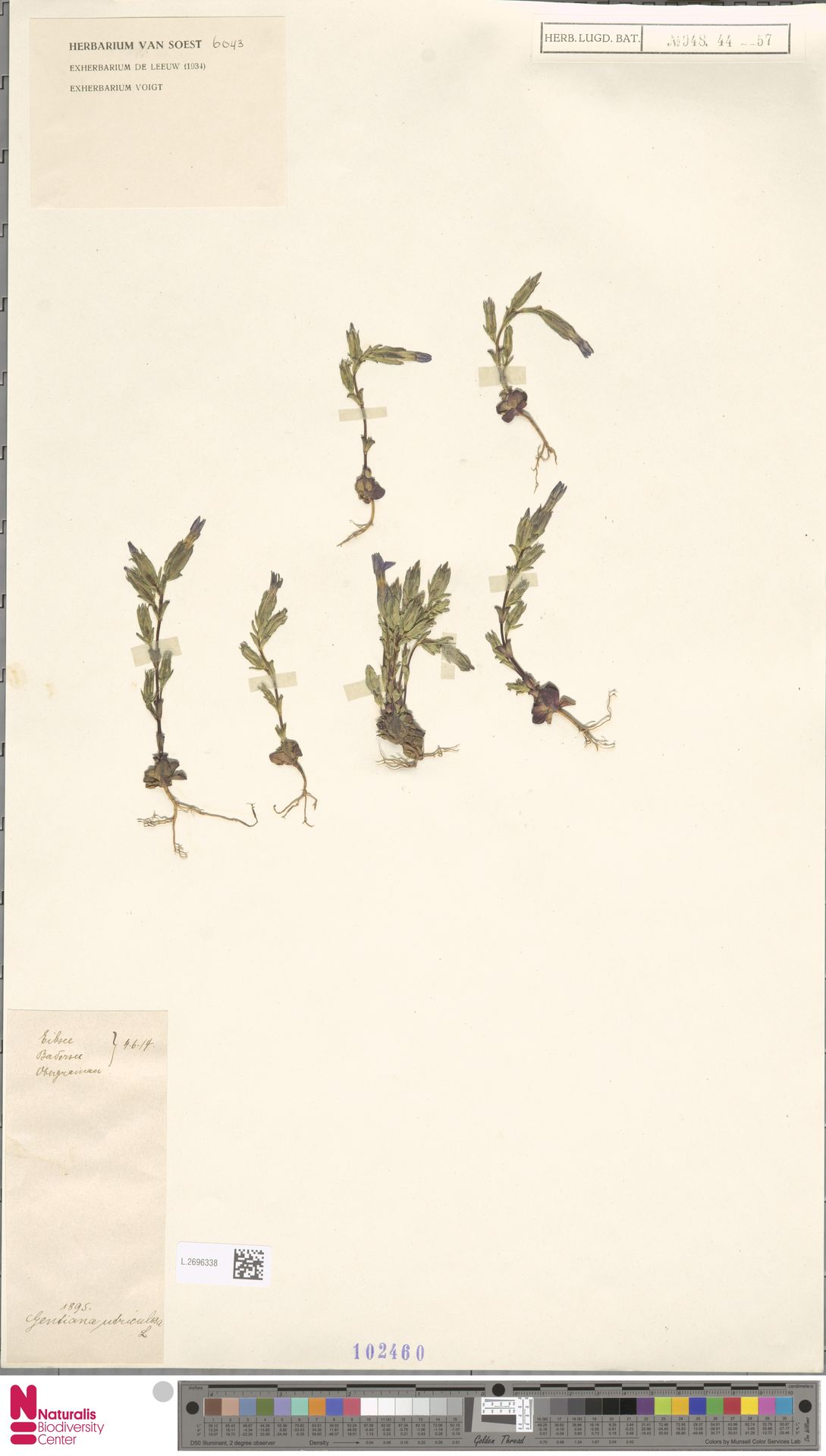 L.2696338   Gentiana utriculosa L.