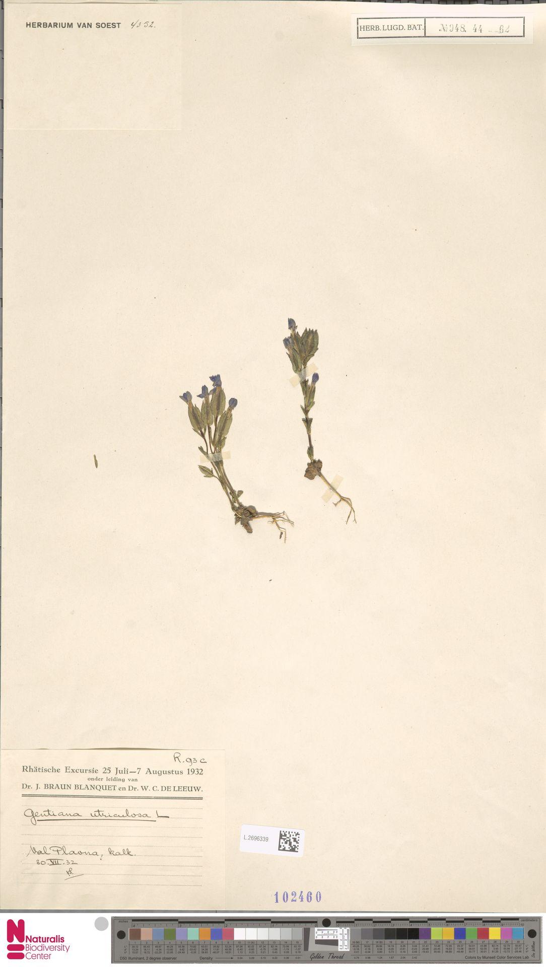 L.2696339 | Gentiana utriculosa L.