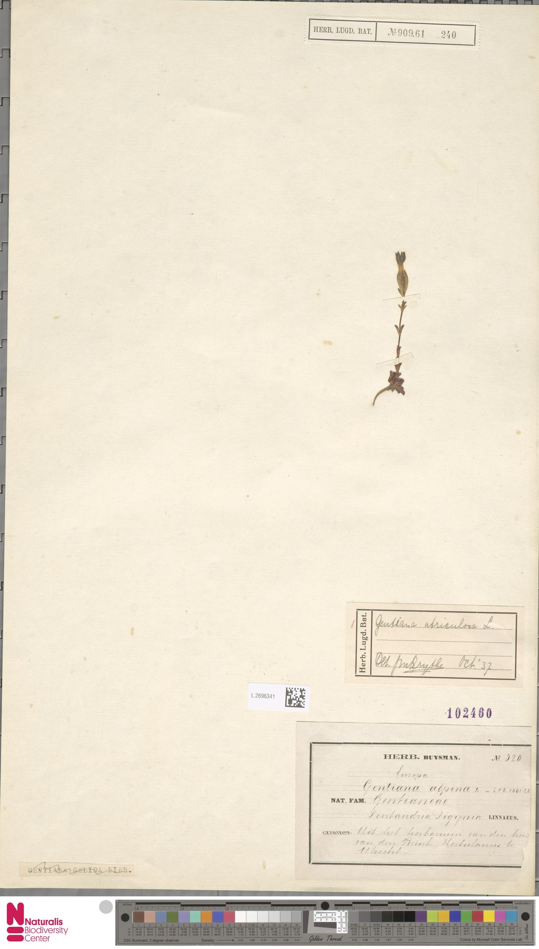 L.2696341 | Gentiana utriculosa L.