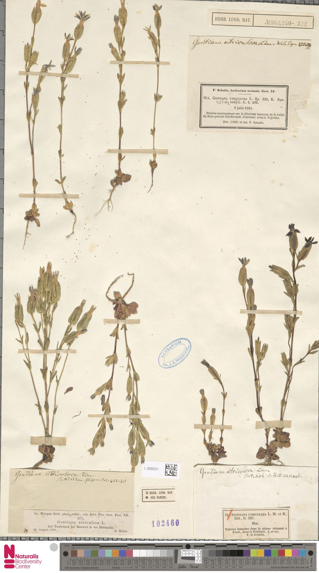 L.2696351 | Gentiana utriculosa L.
