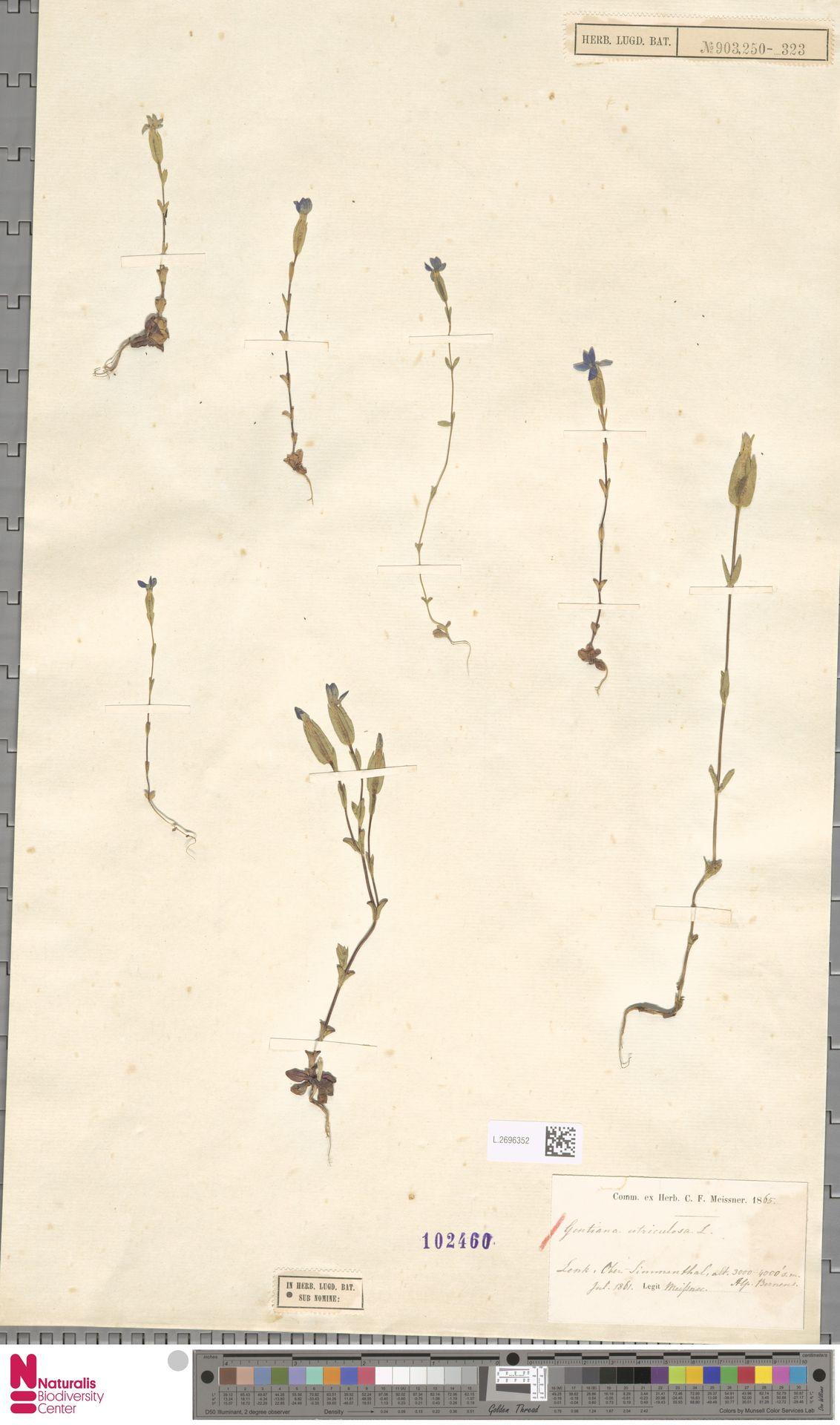 L.2696352 | Gentiana utriculosa L.