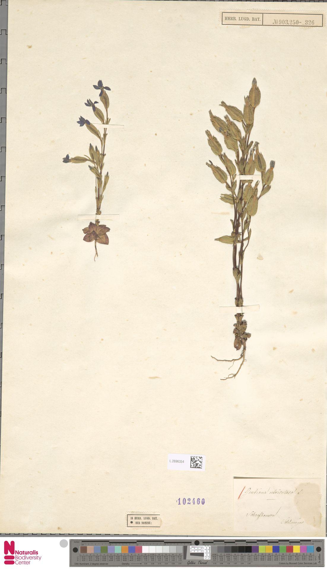L.2696354 | Gentiana utriculosa L.