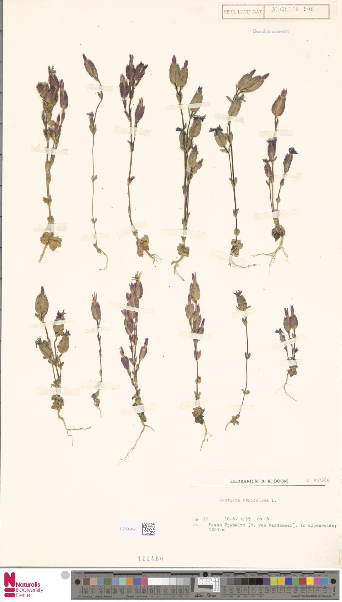 L.2696359 | Gentiana utriculosa L.