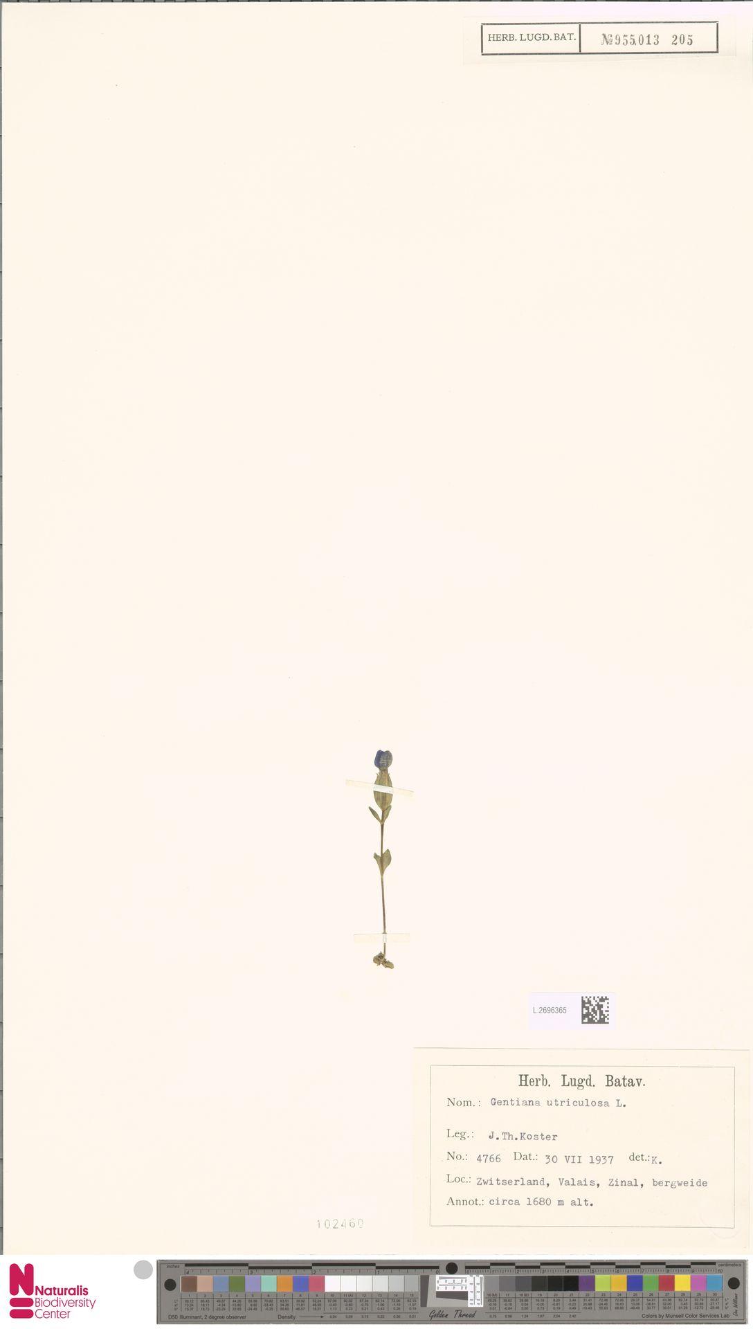 L.2696365 | Gentiana utriculosa L.