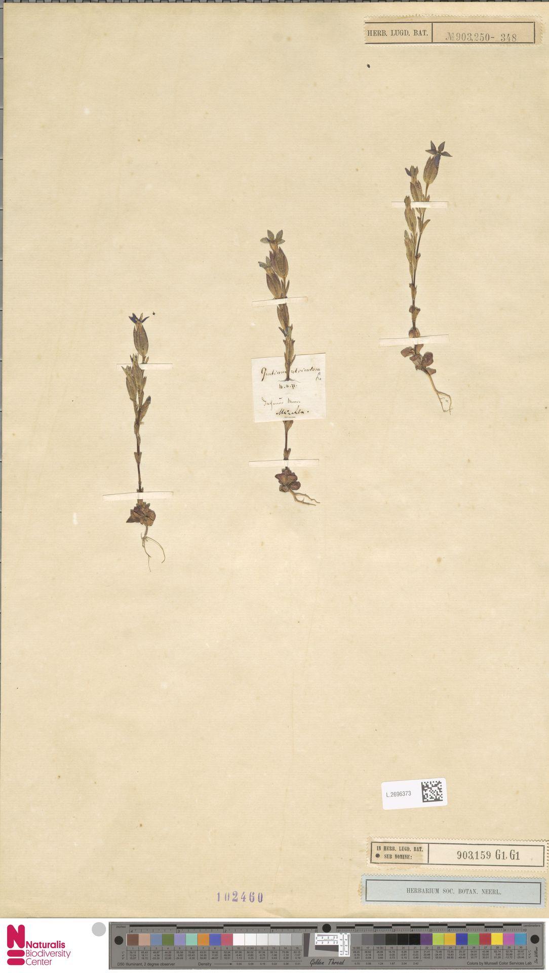 L.2696373 | Gentiana utriculosa L.