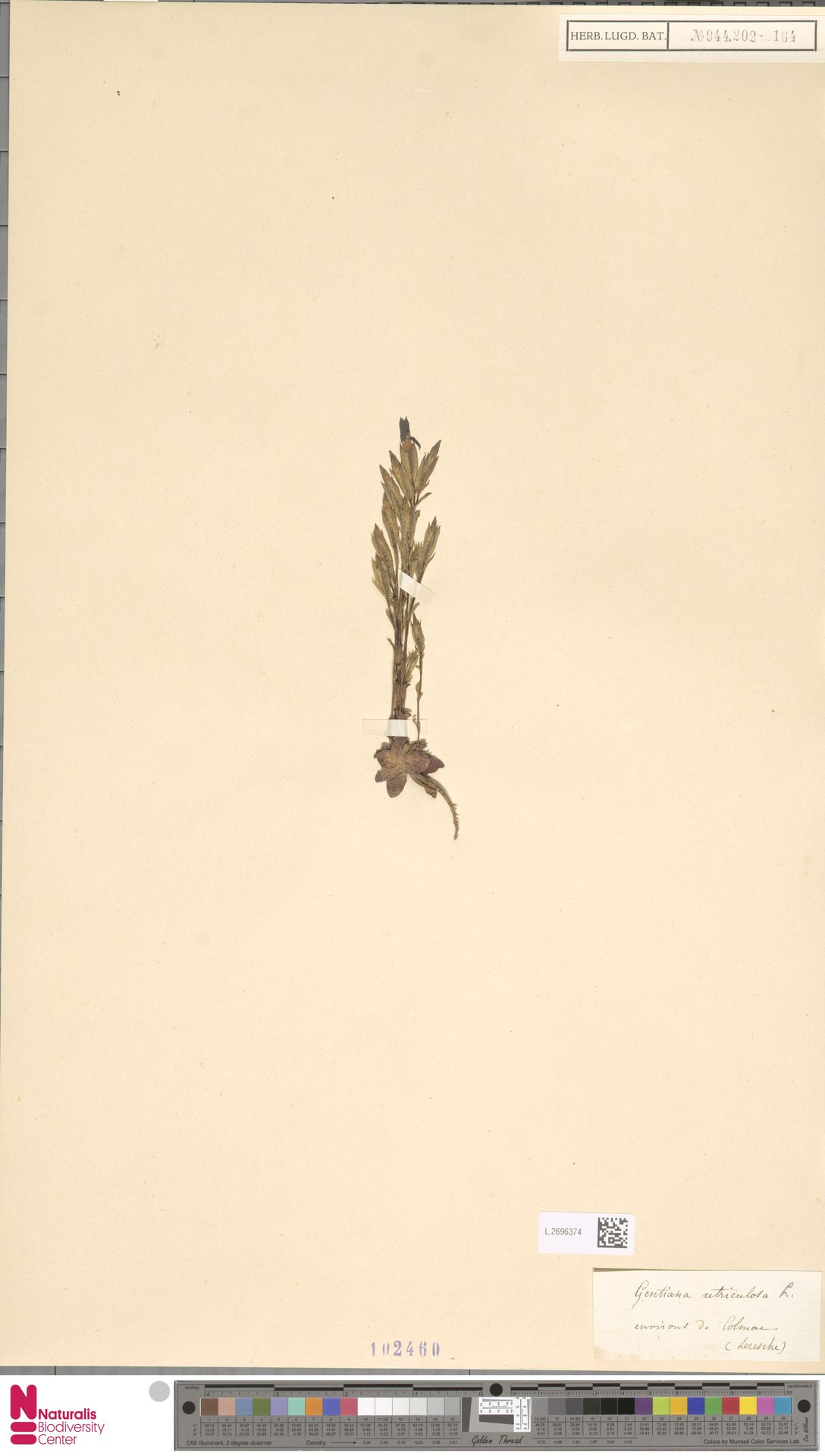 L.2696374 | Gentiana utriculosa L.