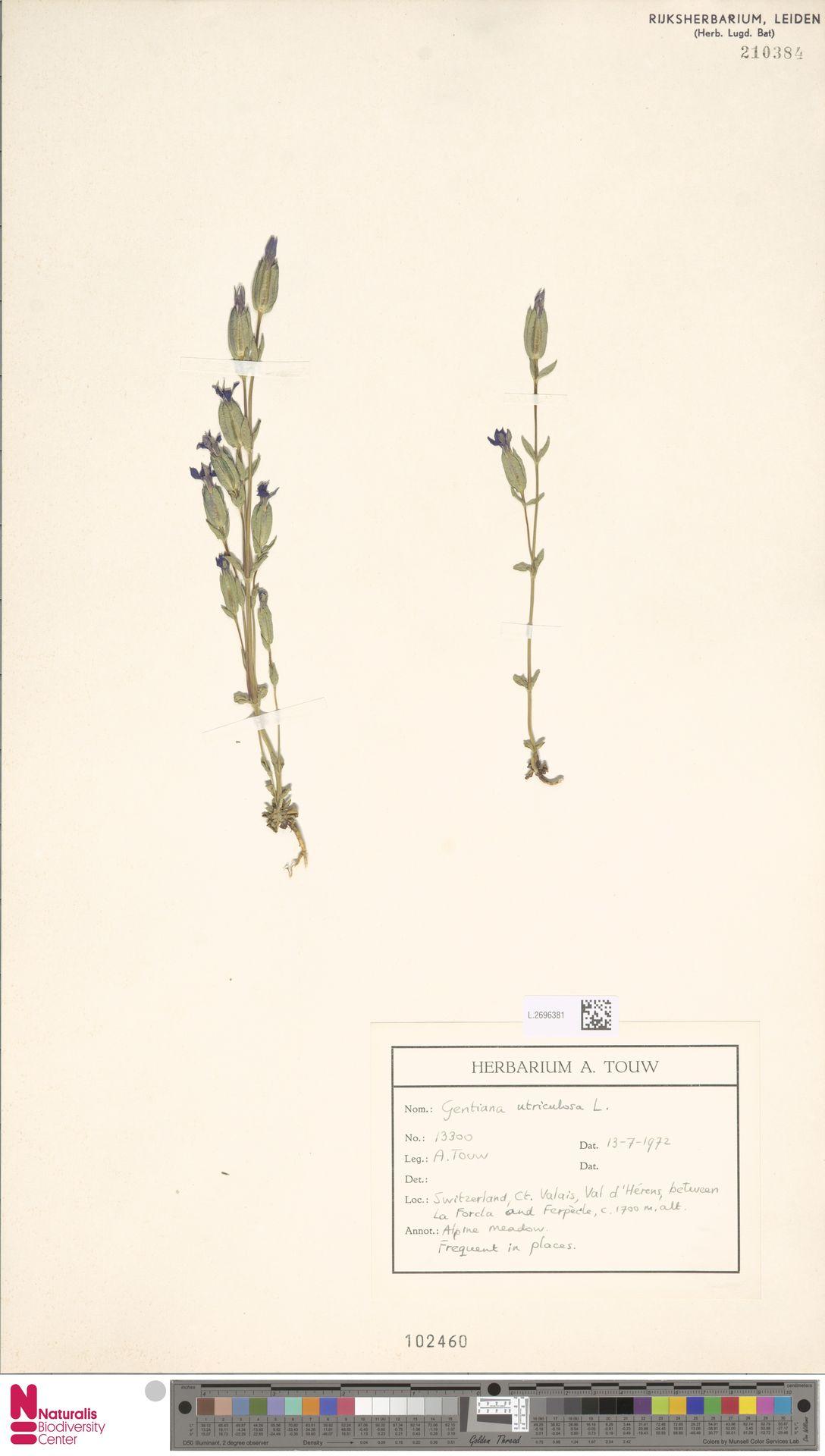 L.2696381 | Gentiana utriculosa L.