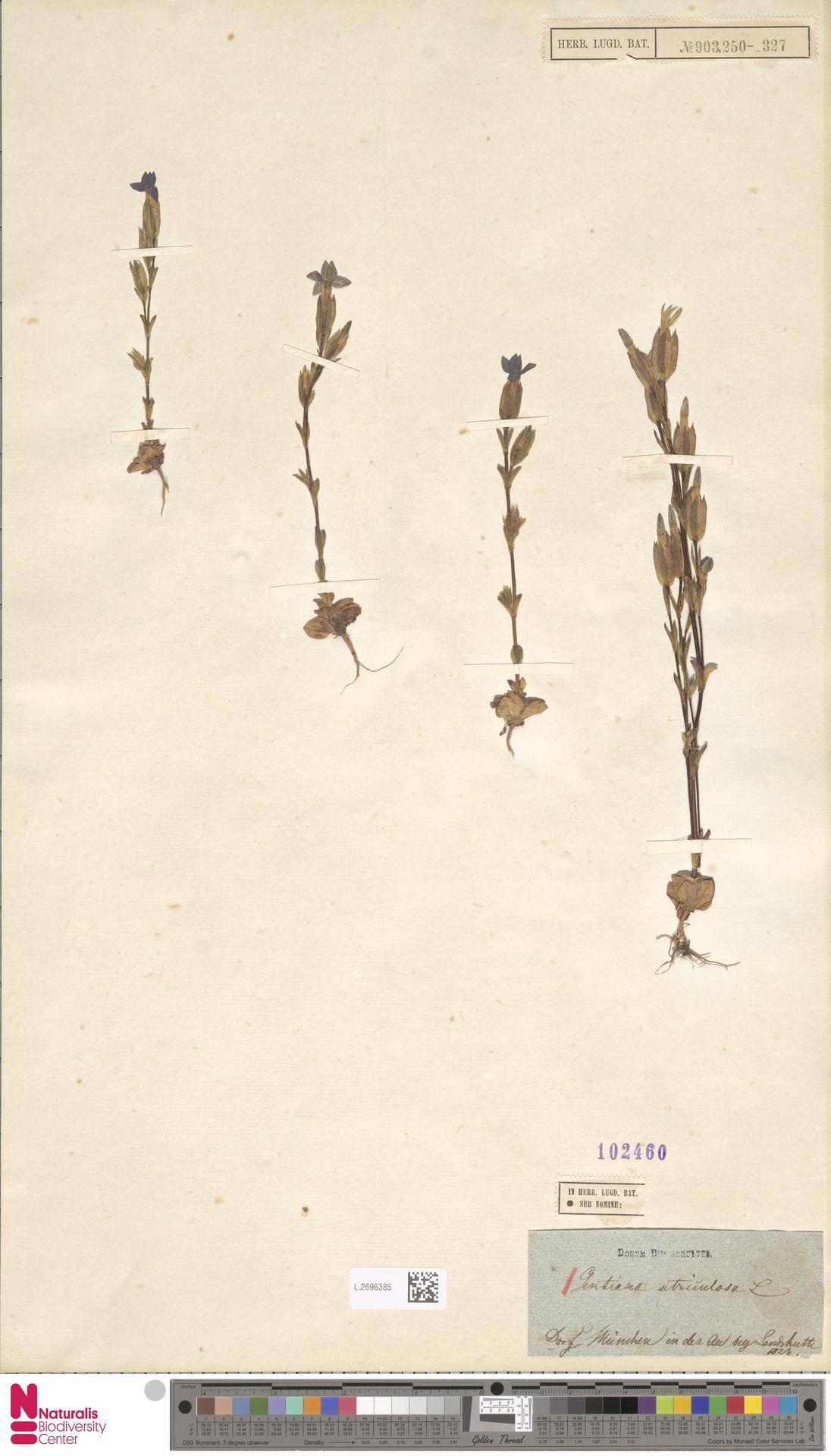 L.2696385 | Gentiana utriculosa L.