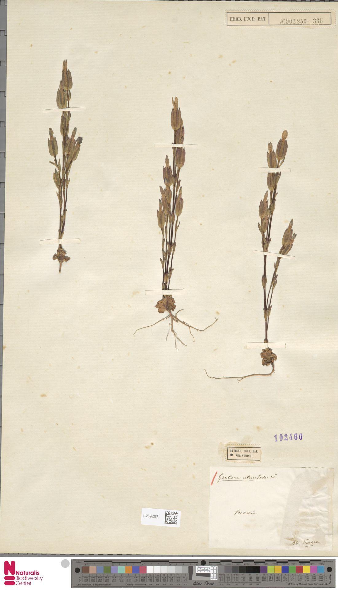 L.2696388 | Gentiana utriculosa L.
