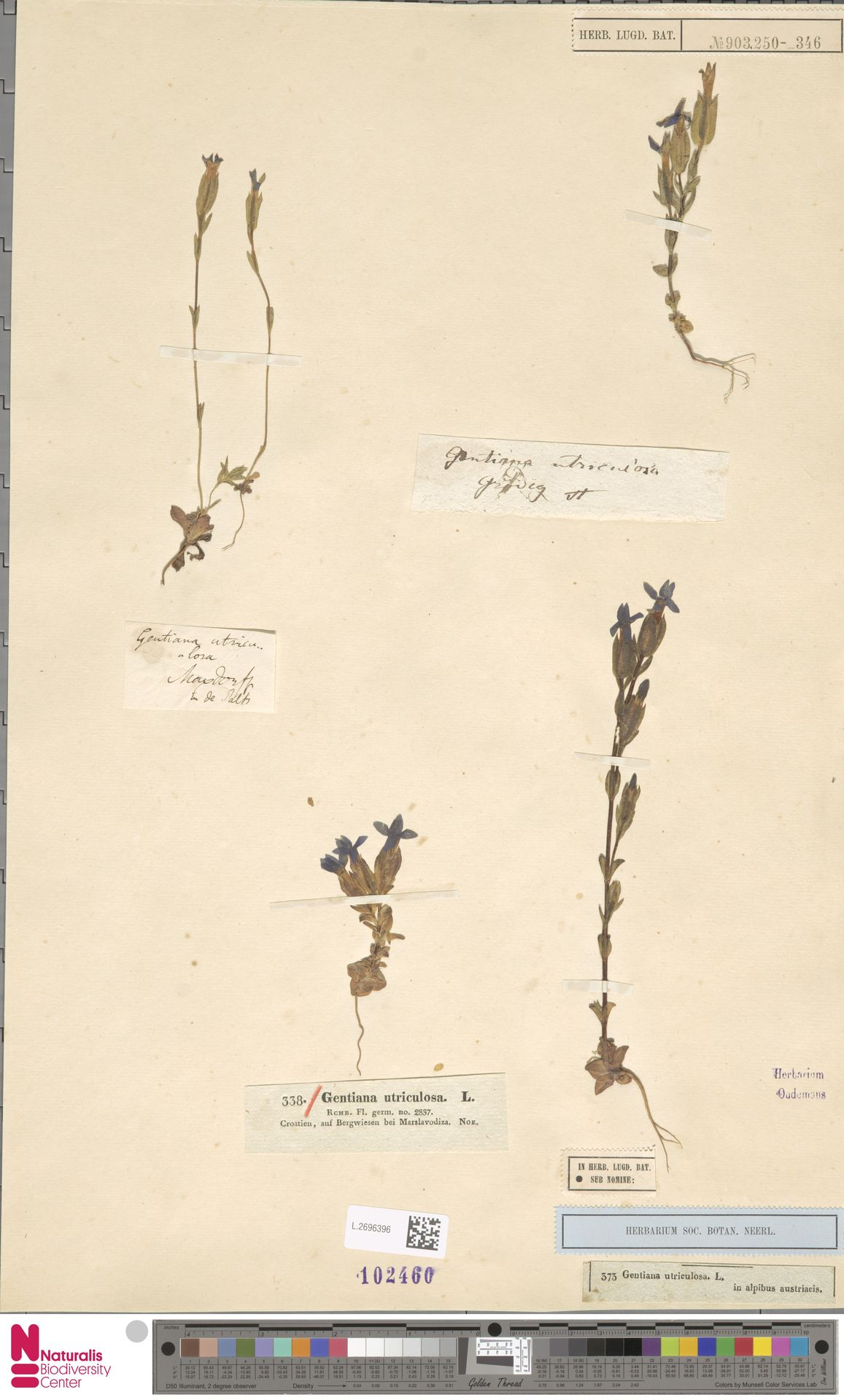 L.2696396 | Gentiana utriculosa L.