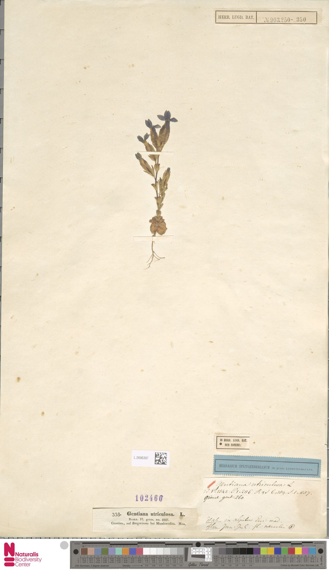 L.2696397 | Gentiana utriculosa L.