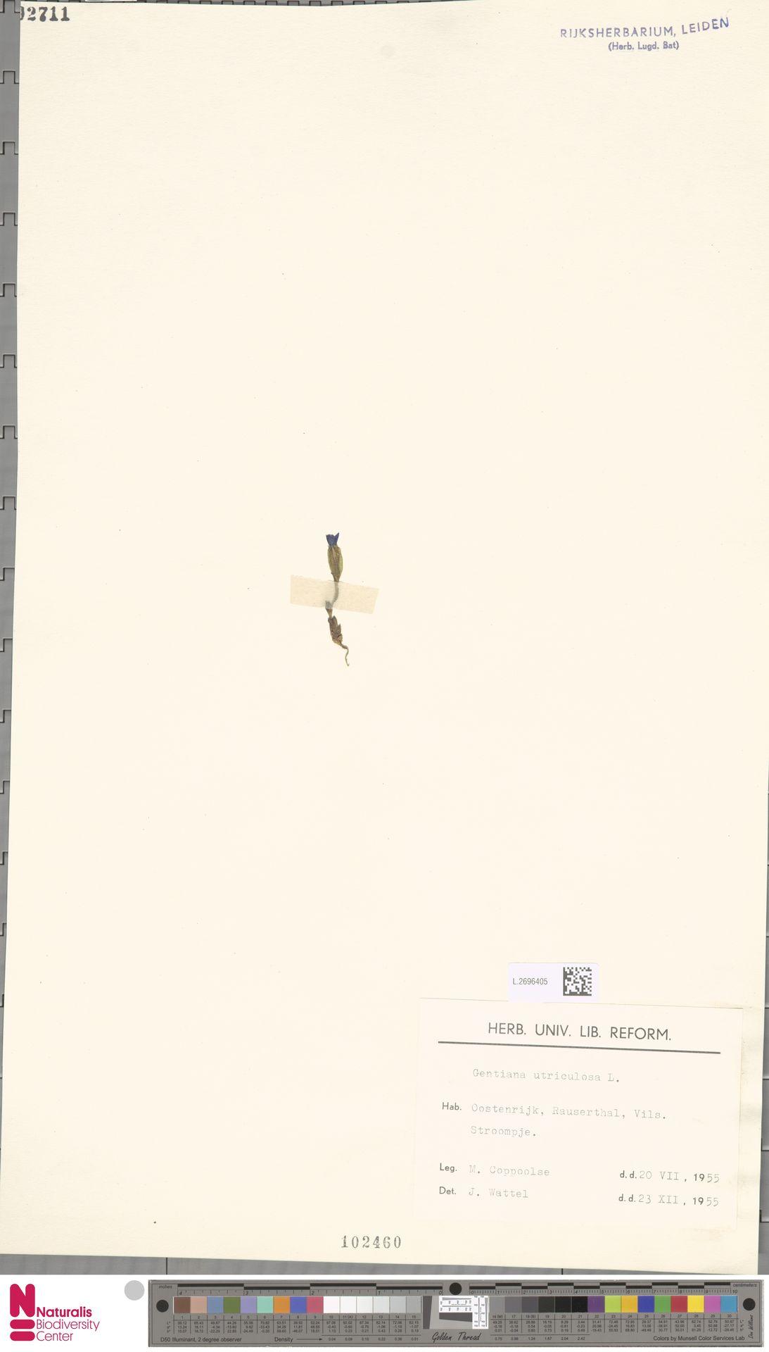 L.2696405 | Gentiana utriculosa L.