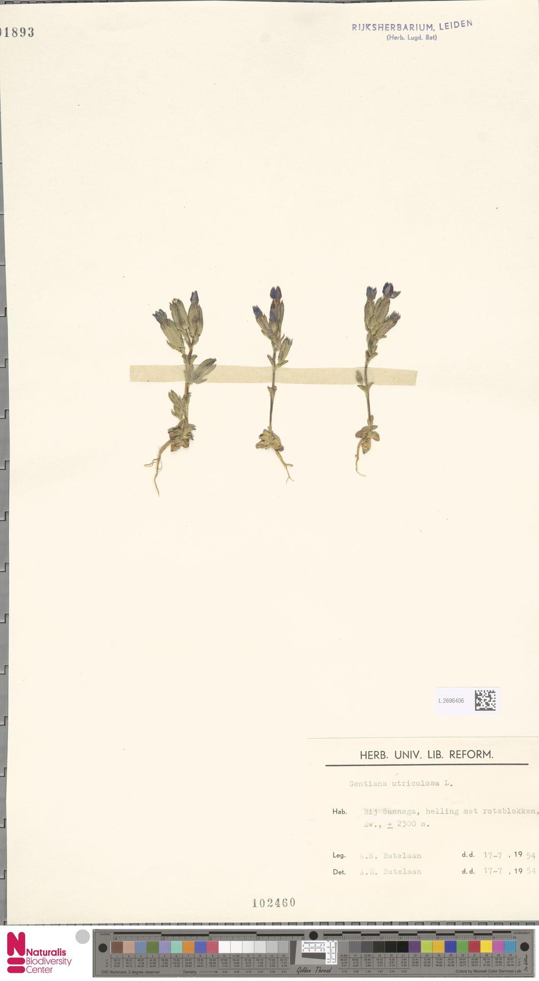 L.2696406 | Gentiana utriculosa L.