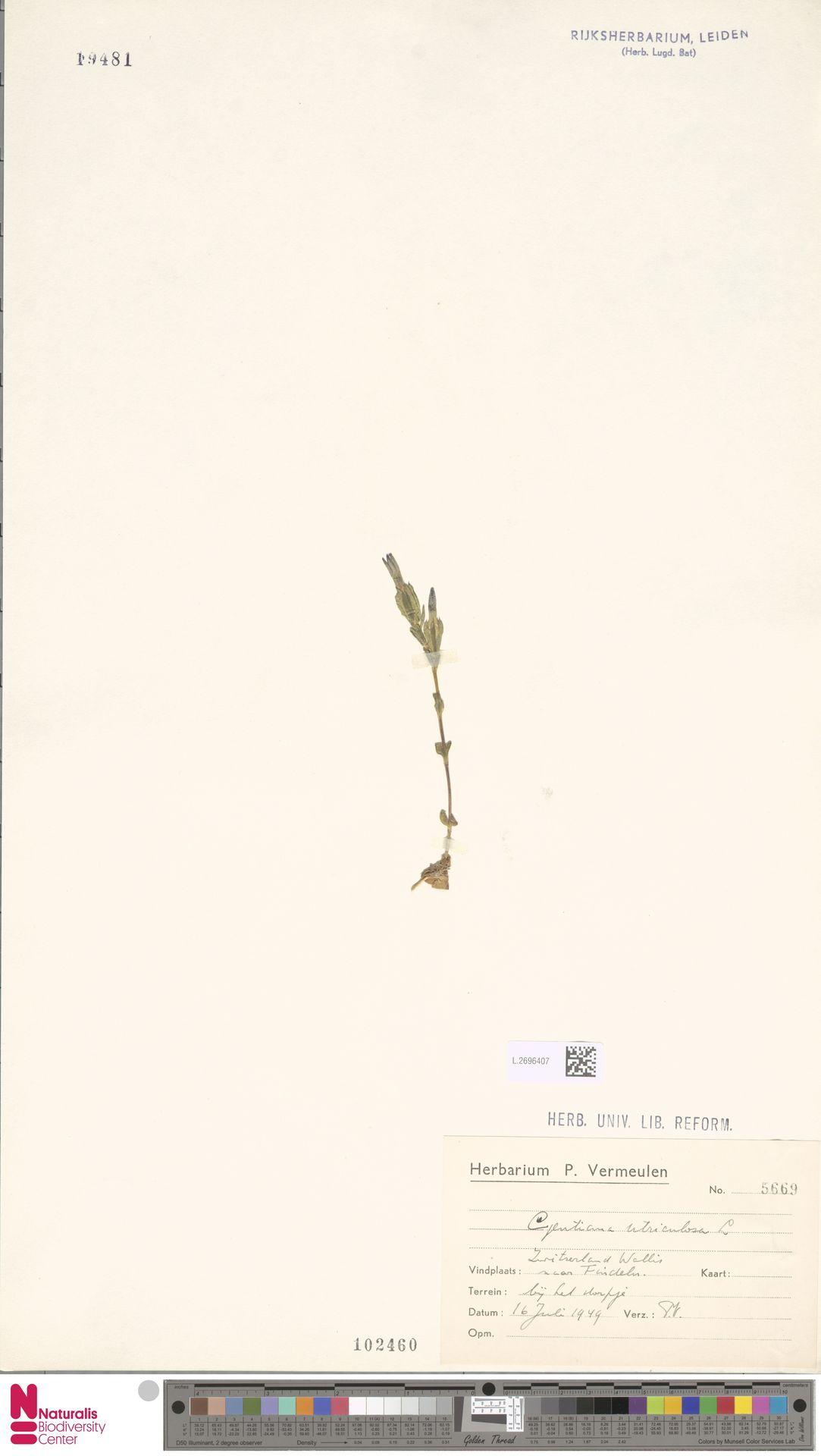 L.2696407 | Gentiana utriculosa L.