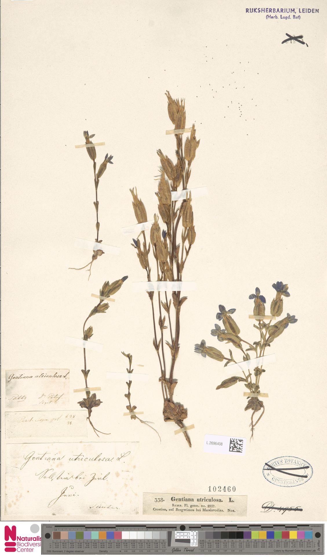 L.2696408 | Gentiana utriculosa L.
