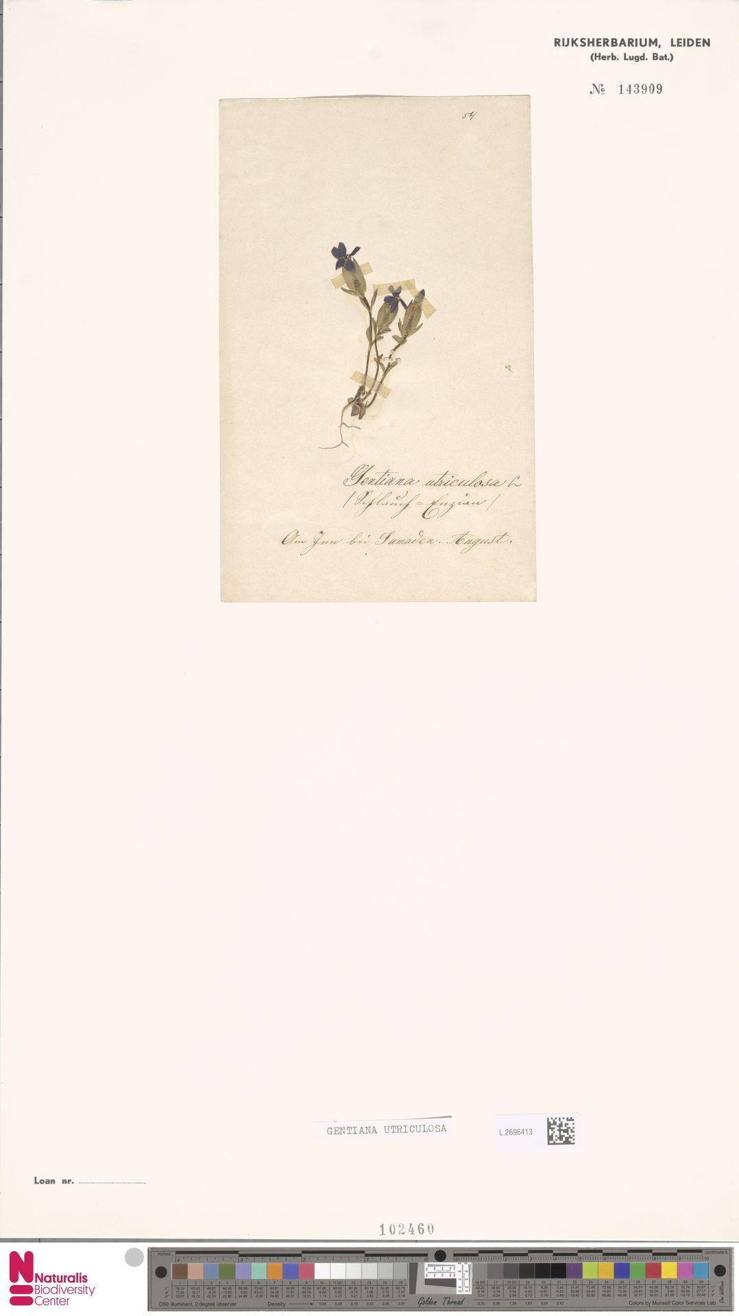 L.2696413 | Gentiana utriculosa L.