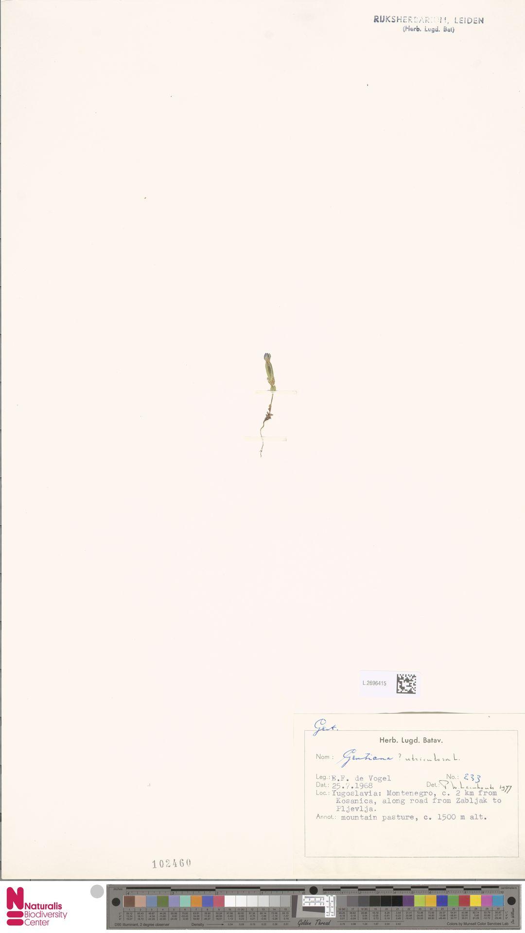 L.2696415 | Gentiana utriculosa L.