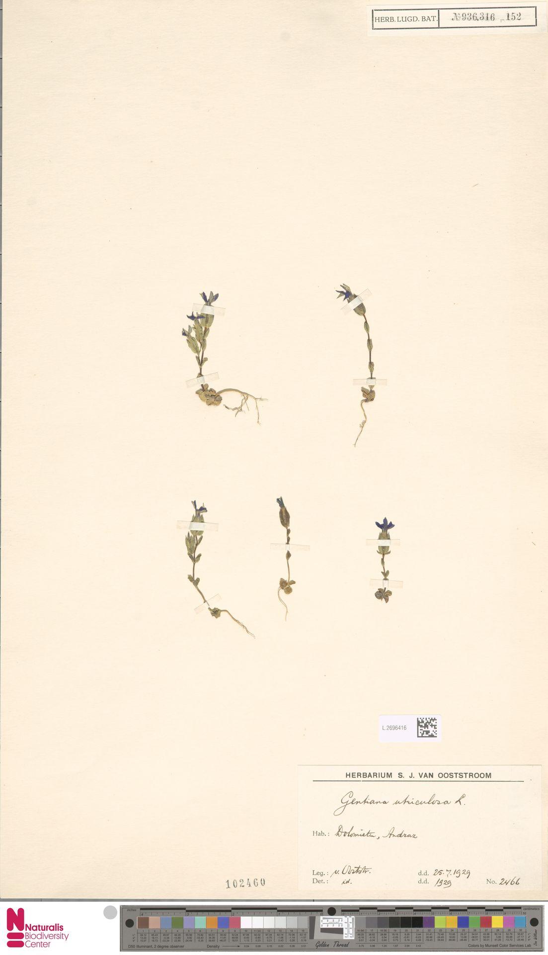 L.2696416 | Gentiana utriculosa L.
