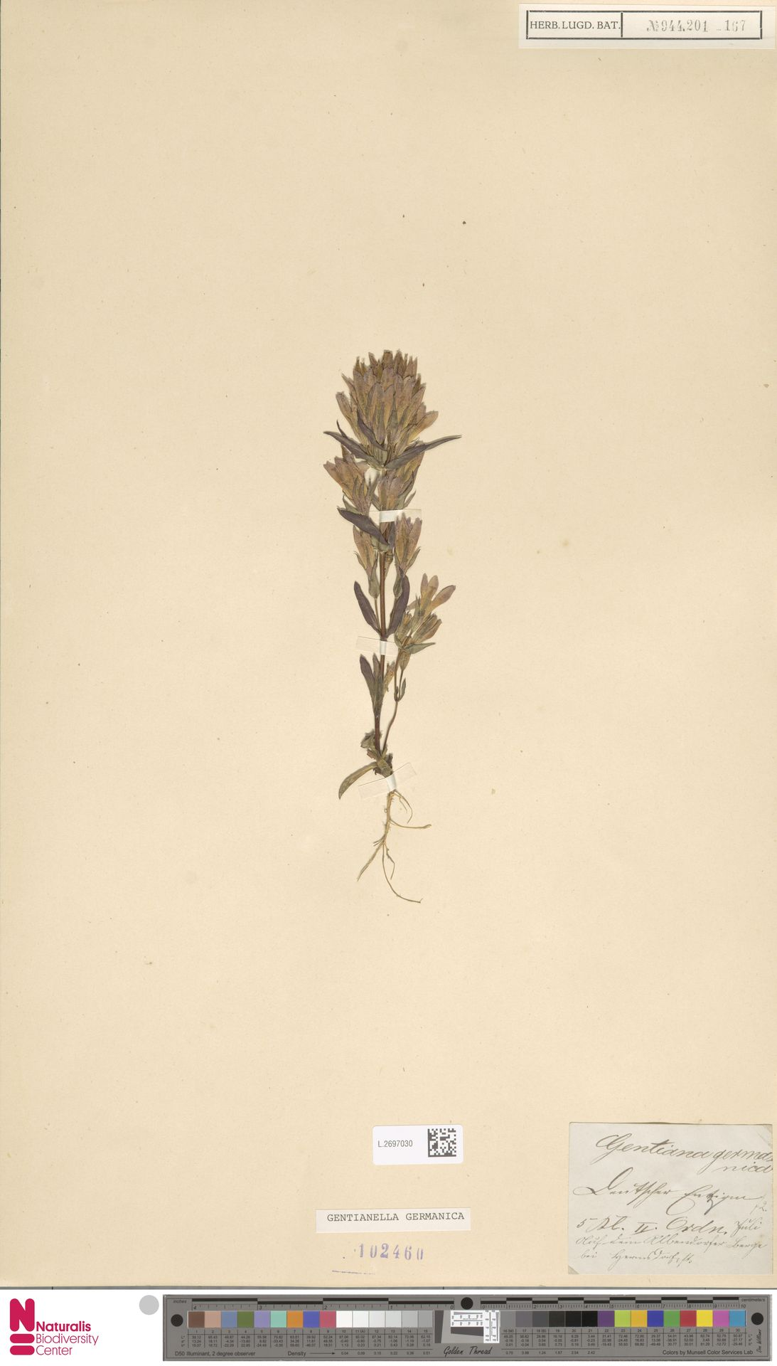 L.2697030 | Gentianella germanica (Willd.) E.F.Warb.