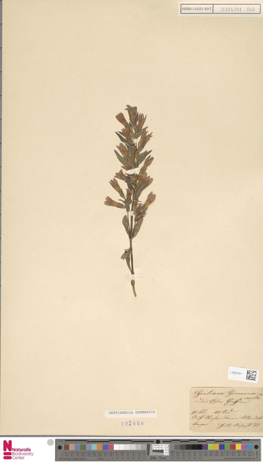 L.2697031 | Gentianella germanica (Willd.) E.F.Warb.