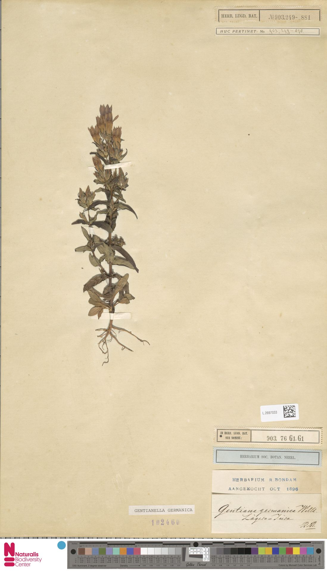 L.2697033 | Gentianella germanica (Willd.) E.F.Warb.