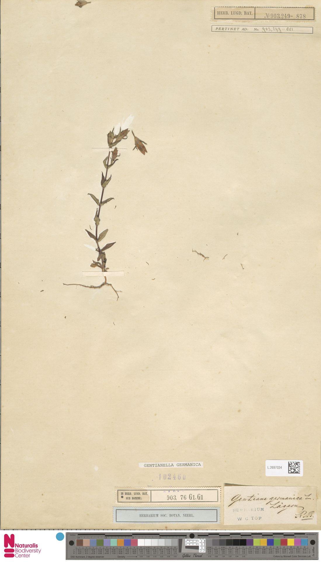 L.2697034   Gentianella germanica (Willd.) E.F.Warb.