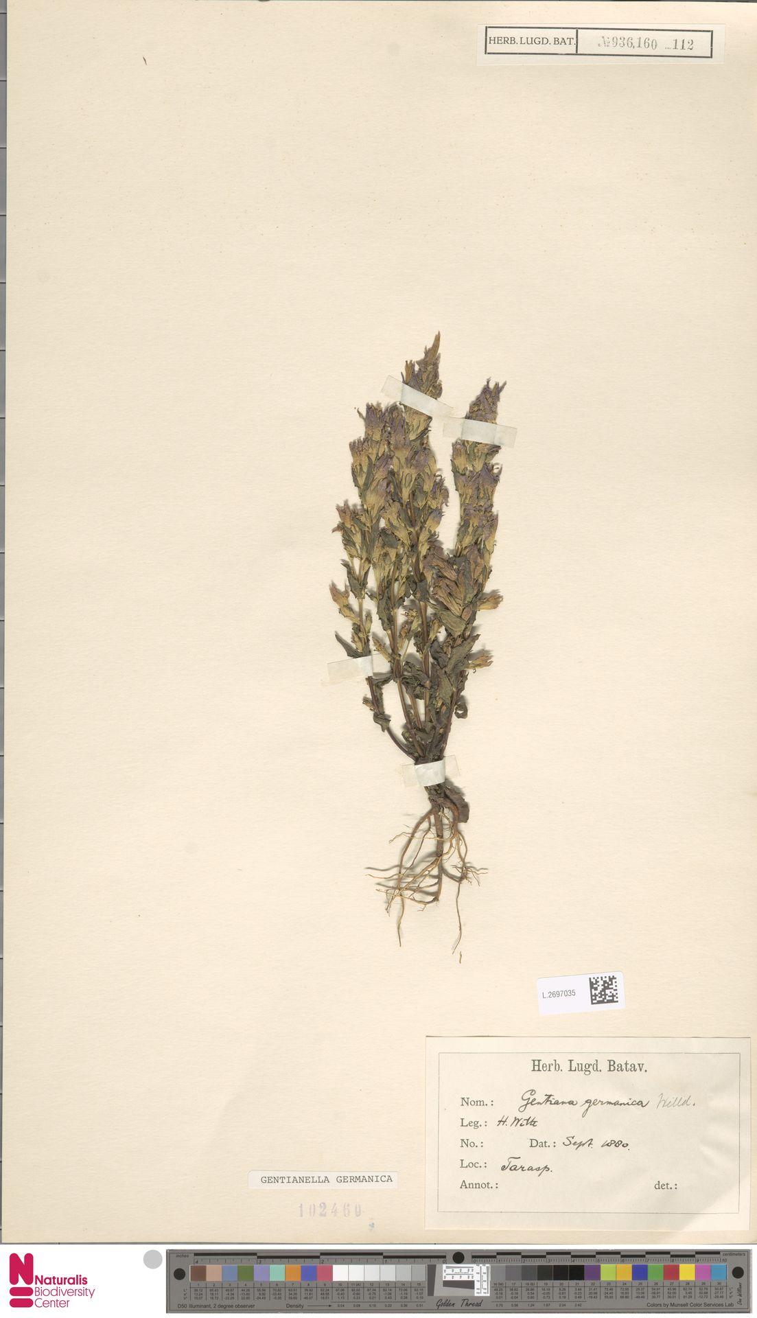 L.2697035 | Gentianella germanica (Willd.) E.F.Warb.